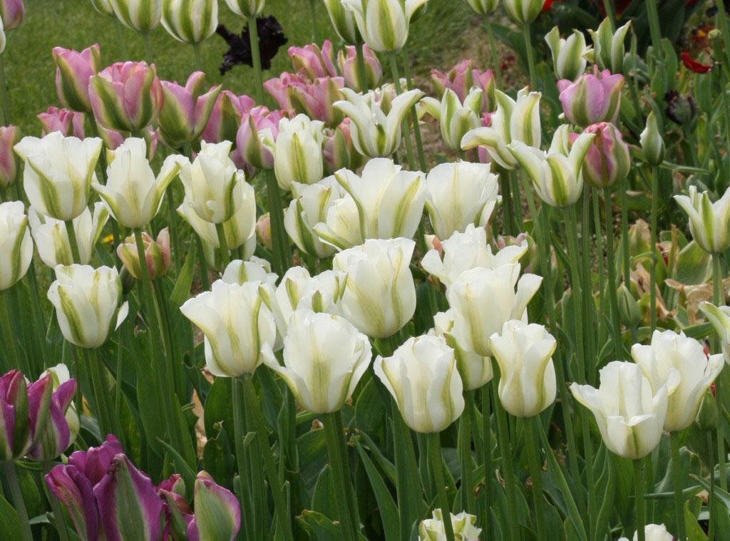 Rosa vitt och violett – en samstämmig färgkombination.