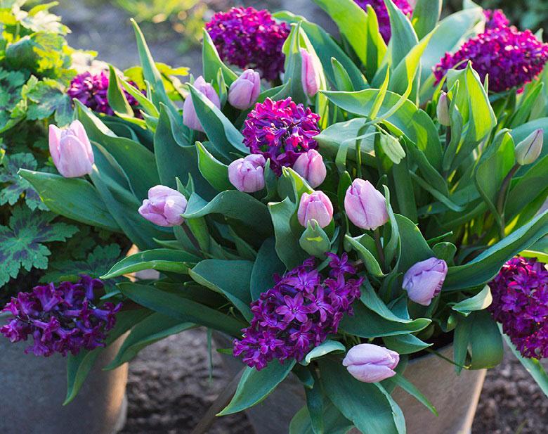 Den vårblommande höstlöken på bilden är planterad av fotografen och trädgårdsentusiasten Annika Christensen. Hennes fina höstlökskombo finns nu att köpa som färdig lökmix. Du hittar den under namnet:Lovely Match, Pink Perfume.