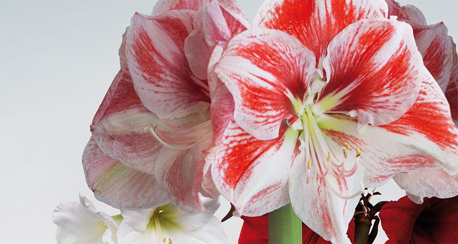Amaryllis 'Spartacus' har stora, dekorativa blommor fyllda av rödrosa nyanser mot ljusare botten. De stora lökarna ger inte sällan 3 eller 4 stjälkar med flera stora blommor per stjälk.