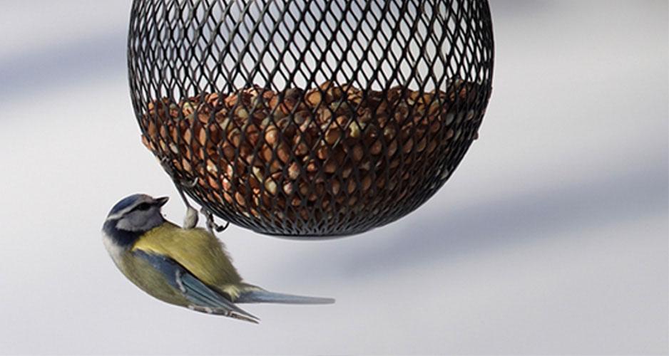 Fåglarna behöver fortfarande extra näringsrik mat vid kyliga februaridagar.