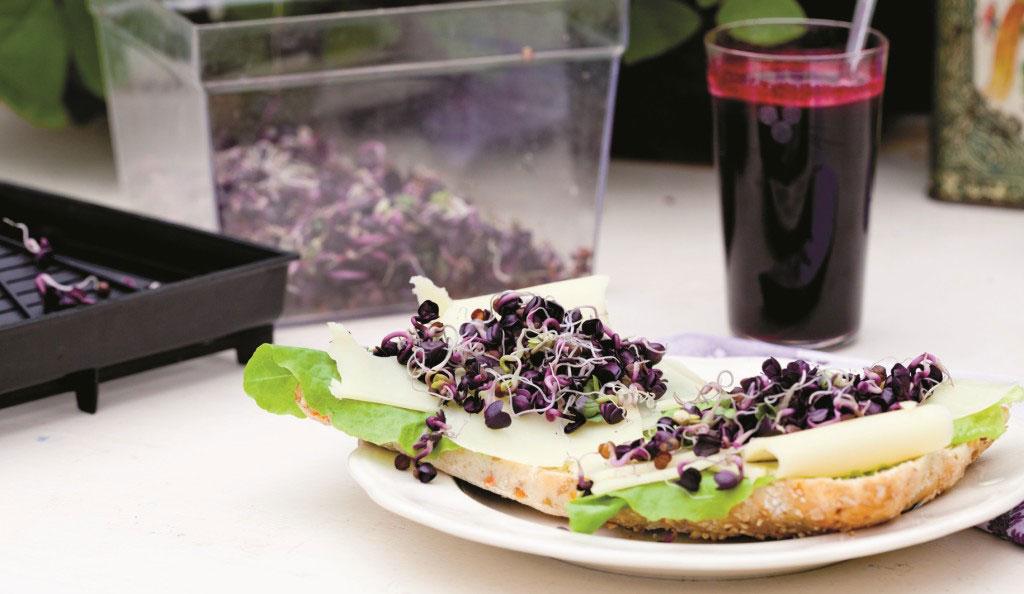 En snabbväxande grodd som både har härlig färg, spännande smak och är rik på både vitaminer och mineraler