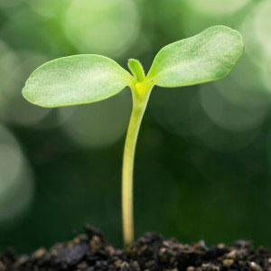Så grönsaker på hösten - liten bladrosett tittar upp.