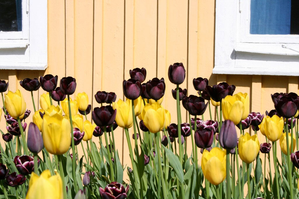 Gult och grönt smälter in vackert mot den gula fasaden. Addera lite dramatik med kontrastfärgen mörkt violett.