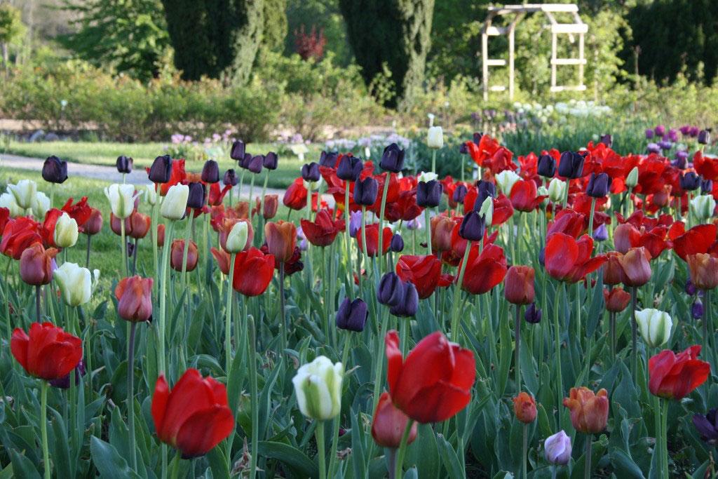 Tulpaner i röda och violetta toner.