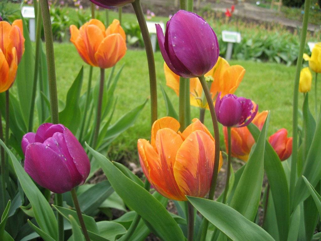Tulpaner i orange och cerise