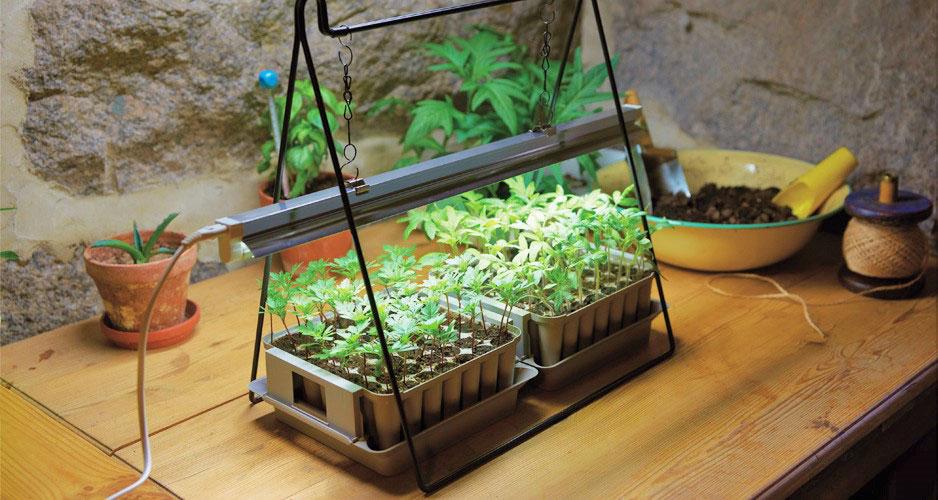 Extra ljus gör att plantorna växer sig starka och friska.