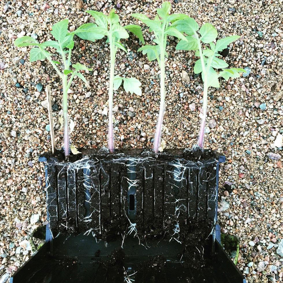 Förodla dina egna tomatplantor