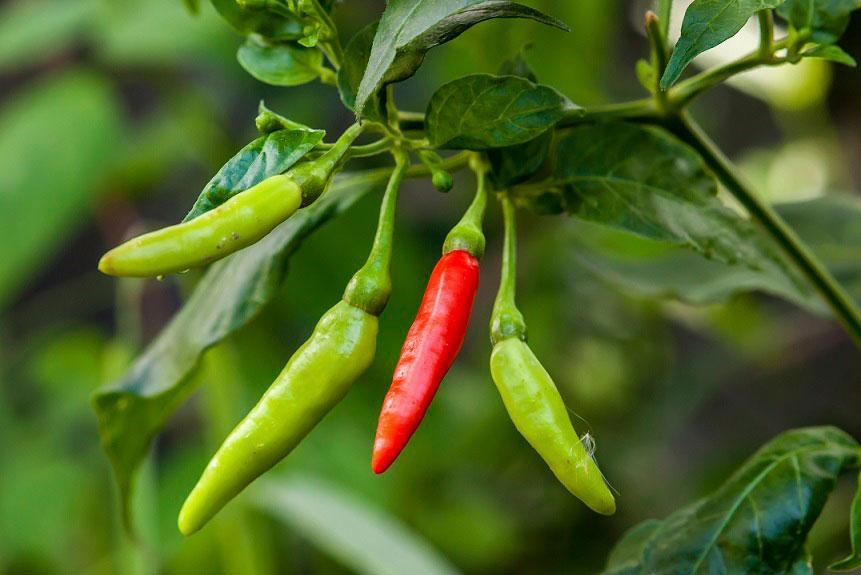 Odla chili är inte svårt