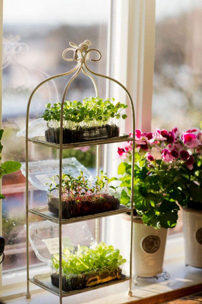 Micro leaf på tillväxt hemma i mitt fönster. Oftast räcker det med dagsljus för att de ska växa färdigt på några få dagar.