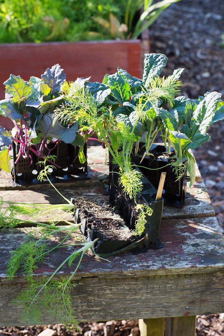 Grönsaker förodlade i Rootmaster
