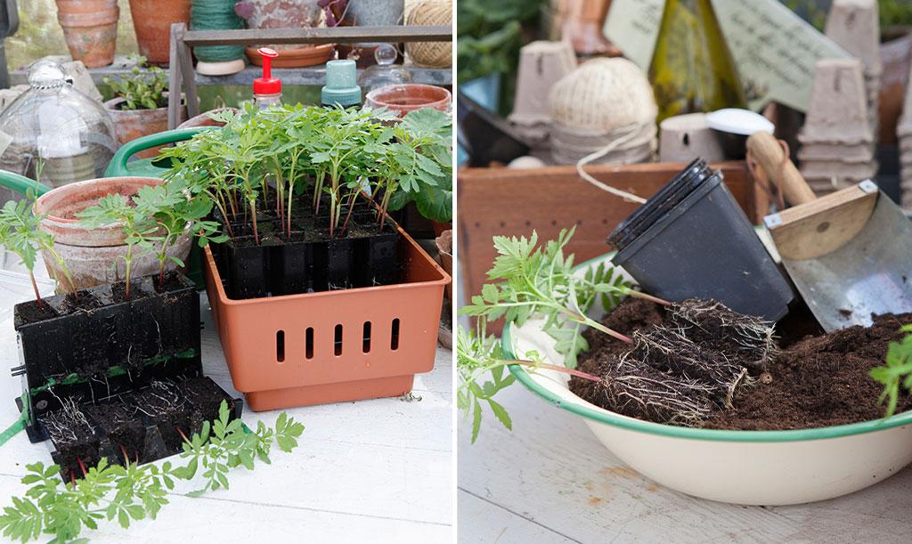 I Rootmaster kan rötterna växa sig starka och friska innan du varsamt planterar om dina växter. Foto: Annika Christensen