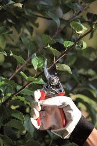 Beskära äppelträd med kraftig sekatör