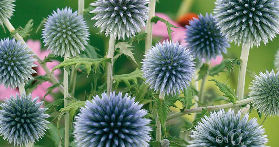 Blå bolltistel för en blomsterrabatt i nordisk stil