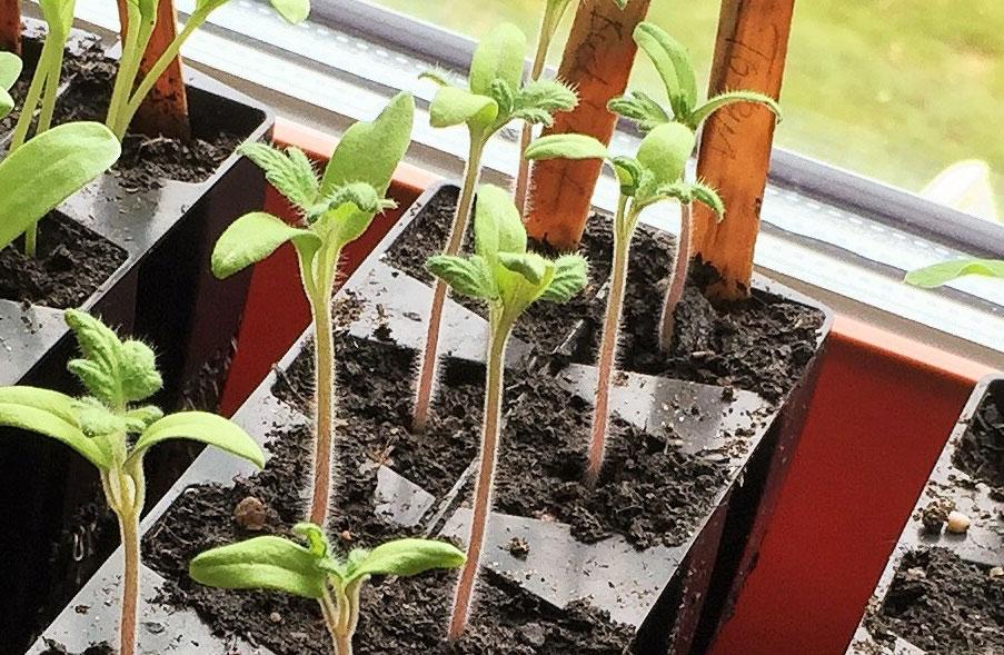 Karaktärsblad på tomatplantor