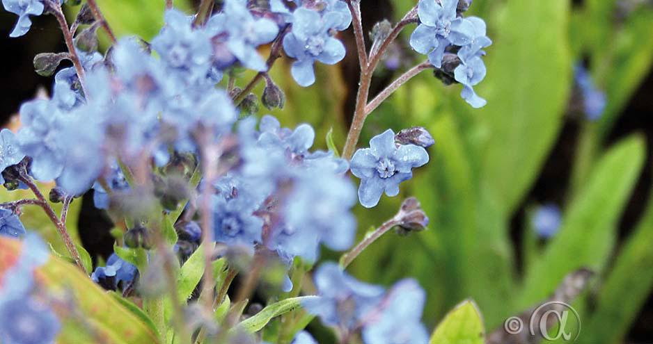 Kinesisk Förjätmigej med sin midla blåa färg är fini blomsterrabatten