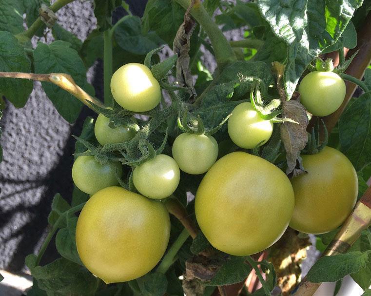 Tomater i kruka som mognar i solen invid en vägg.