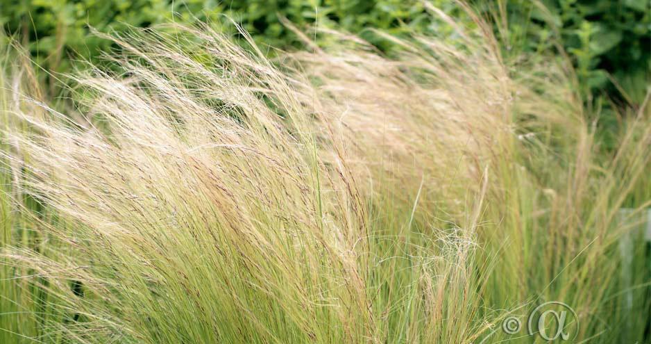 Svepande gräs för en sval känsla i blomsterrabatten. Kan torkas.
