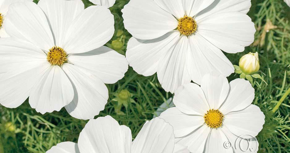 Rosenskära lättodlad och vacker i blomsterrabatten