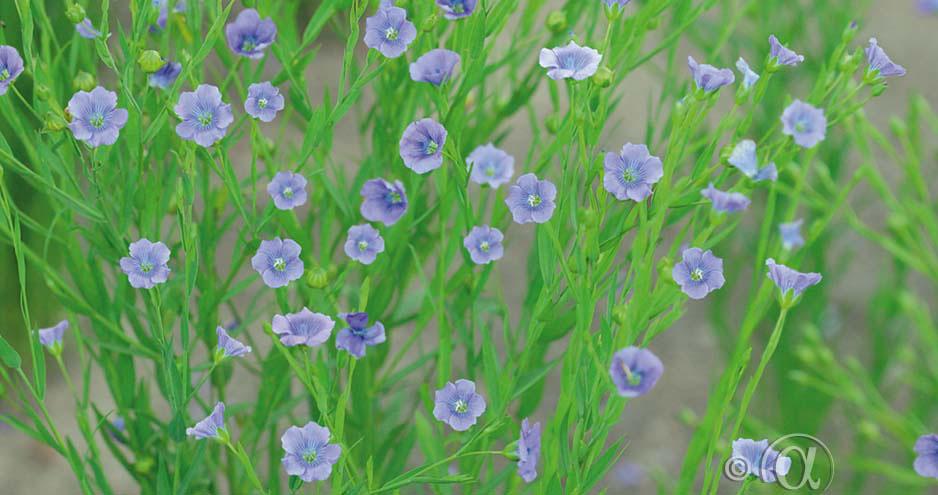 Spånadslin med sina intensivt blåa blommor ger en stil med sval nordisk känsla i blomsterrabatten