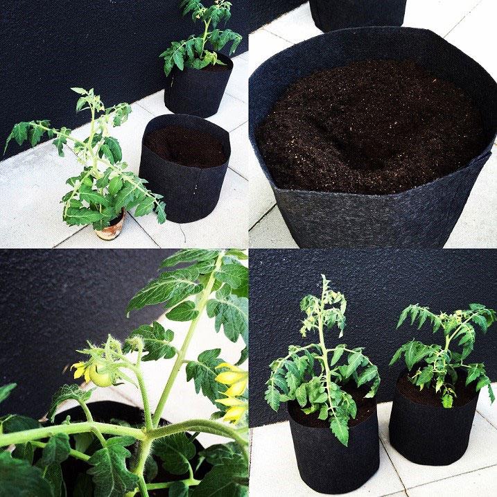 Tomatplantorna får här sin sista utekruka och placeras invid en varm och solig husvägg.