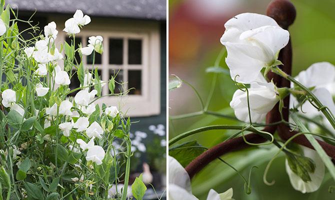luktärt-royal-white
