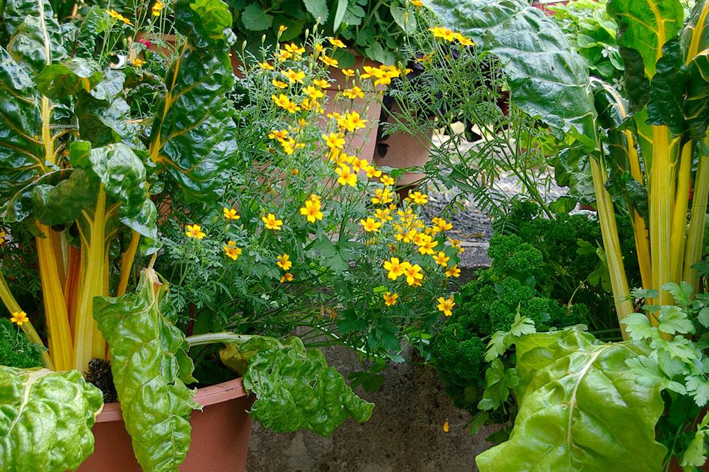 Mangold i kruka tillsammans med kryddtagetes och slätbladig persilja. Foto: Lovisa Back