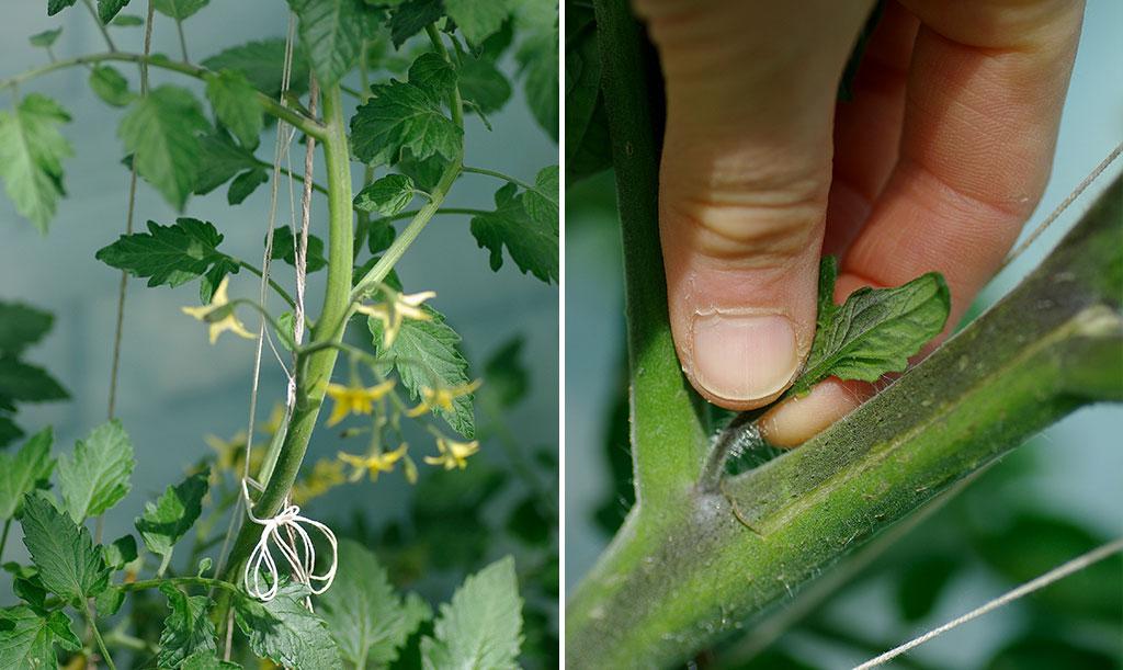 När du tjuvar tomter tar du bort de små nya skotten som växer fram ur vecken mellan tomatgrenar och tomatplantans stam. På så visfår tomatplantan kraft att utveckla fler och större tomater. Foto: Lovisa Back