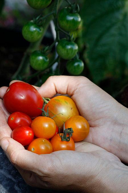 Trädgården Augusti - nyskördade tomater.