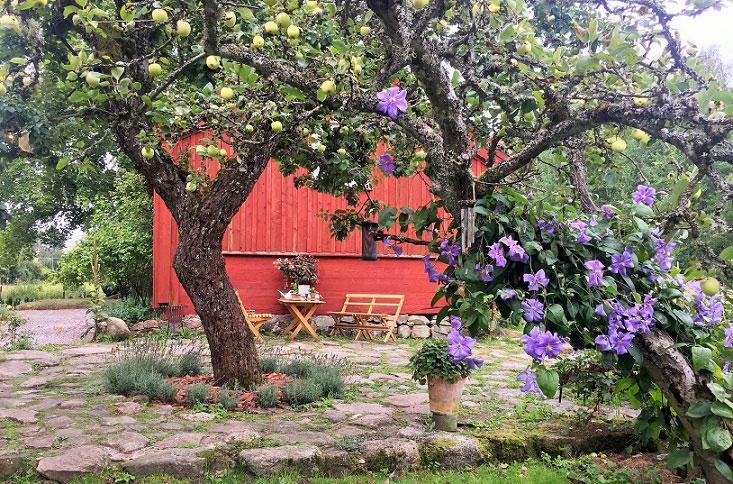 Årets trädgård 2016. Blommande slingerväxt i äppelträd.