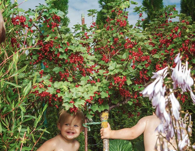 För ett enklare odlingsliv - vinbär på stam