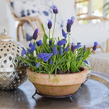 Vårblommor från lökmixen Lovely Match, Blue print från Nelson Garden.