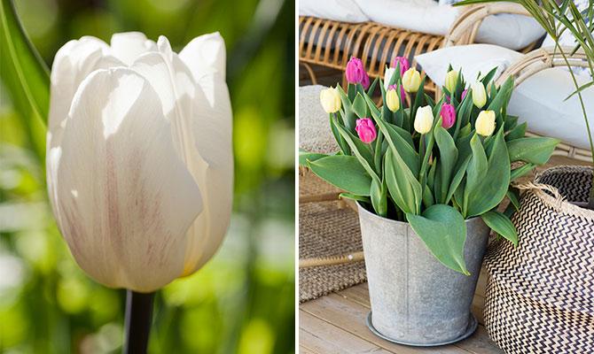 Tulpanmix i vitt gult och rosa ur serien Lovely Match från Nelson Garden.