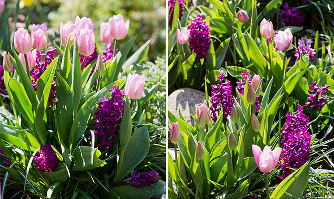 Tulpaner av mixen Pink Perfume hur serien Lovely Match från Nelson Garden