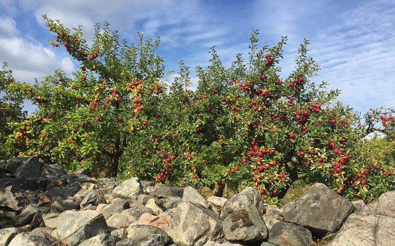 Äppeltider. Att göra i hem och trädgård i Oktober