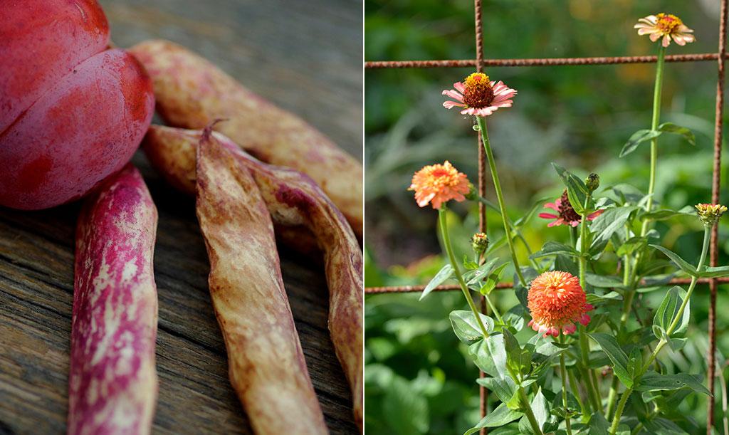 September är plommonens, bönornas och blommornas tid.