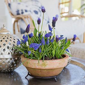 Vårblommande lökar. Här en mix av pärlhyacinter som heter Blue print och kommer från Nelson Garden.