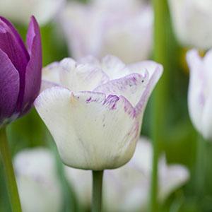 Vårblommande lökar - tulpanmixen Purple rain från Nelson Garden.