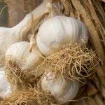 Om att välja vitlökssort att odla