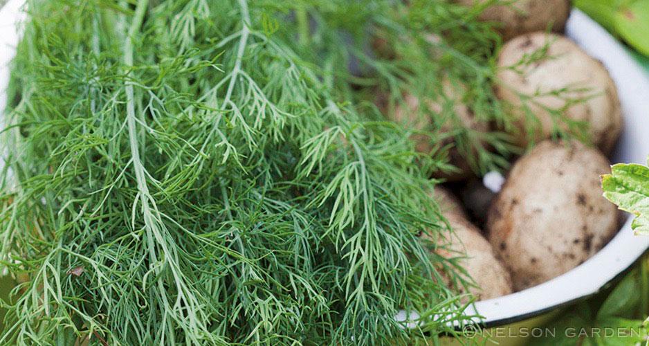 Så grönsaker på hlsten - dill.