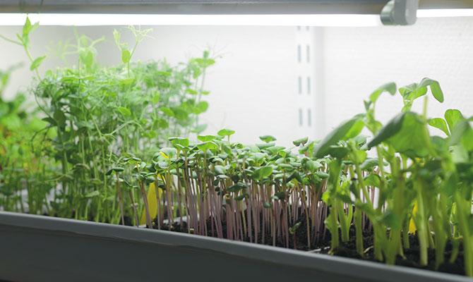 Växtbelysning hjälper din inomshusodling på vintern.