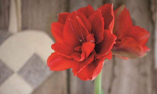 En amaryllislök som ger dubbla blommor är sorten 'Cherry Nymph'.