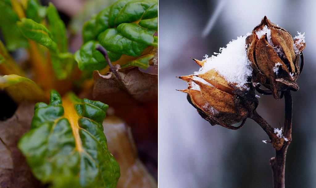 Decemberträdgårdar i vårt avlånga land står i stark kontrast. Foto: Lovisa Back och Pixabay