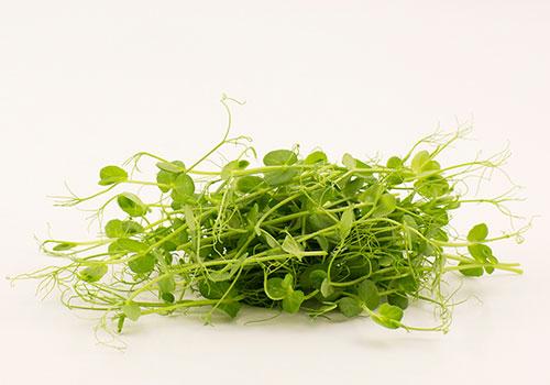 Skördade mikroblad av ärta. Goda i en sallad eller som topping på en soppa eller en smörgås.