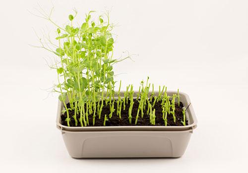 Skörda snabbväxande mikroblad direkt på fönsterbrädan.