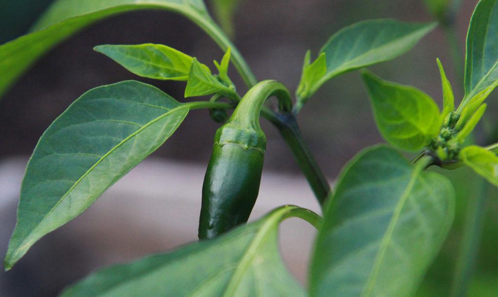 Odla egen chili