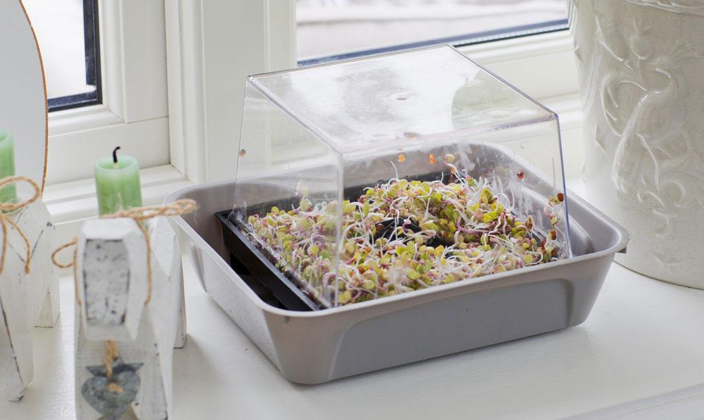 Placera groddarna i ett ljust fönster