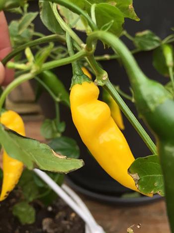Chilisorten Hot Lemon