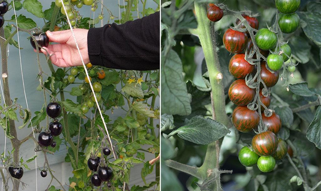 Högväxande tomater behöver i regel både tjuvas och bindas upp. Foto: Lovisa Back och Anna Lindeqvist