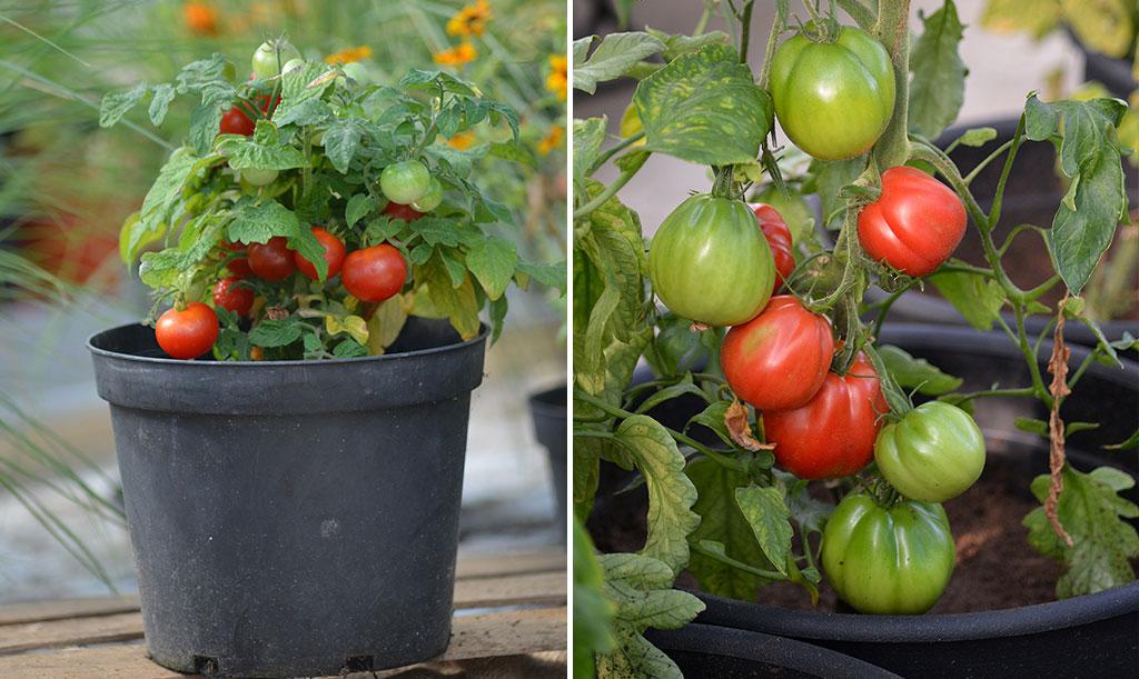 Både höga- och låga tomater går att odla i kruka. De små klarar sig i en mindre. Foto: Anna Lindeqvist