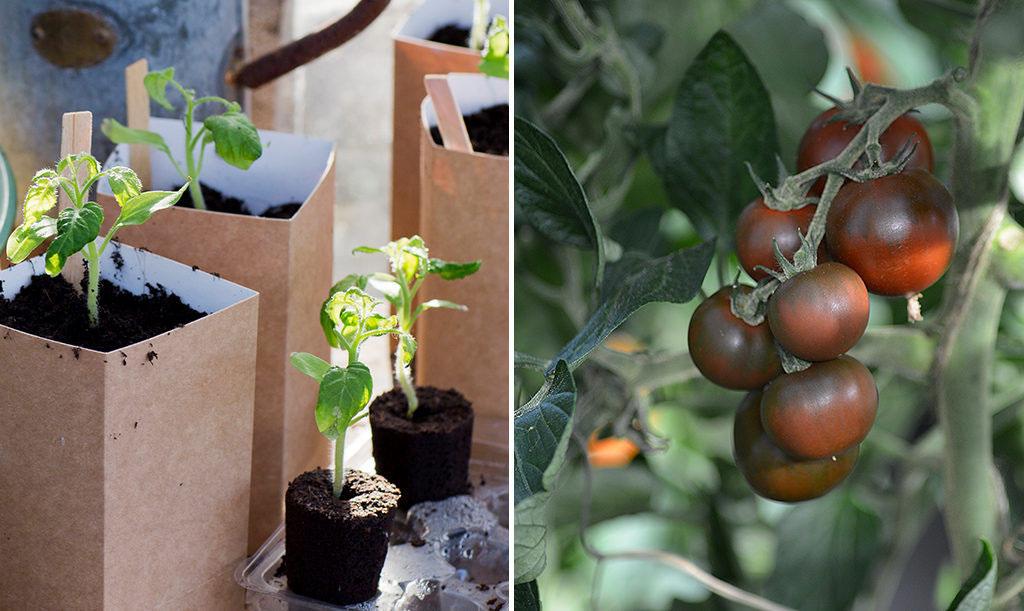 odla tomater balkong
